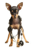 Puppy Russkiy toy terrier with necklace. Puppy Russkiy toy terrier with smoothed hair with necklace. Black and tan. Isolated, over white Stock Image