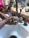 puppy& x27 s που παίρνει το λουτρό στοκ εικόνα με δικαίωμα ελεύθερης χρήσης