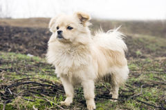 Puppy's ambition. A   brown white  puppy is standing high watching forward ,as its ambition Royalty Free Stock Image