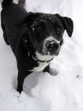 Puppy's First Snow Stock Image
