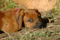 Puppy sad Royalty Free Stock Images