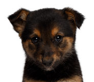 Puppy sadly looking in camera. Puppy mixed-breed  sheep-dog isolated on white background Royalty Free Stock Photography