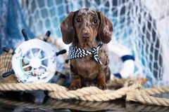 puppy sailor and sea decorations stock photo