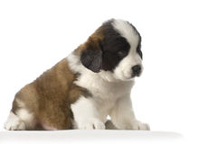 Puppy Saint Bernard Stock Image