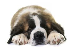 Puppy saint bernard Stock Photos
