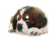 Puppy saint bernard Stock Images