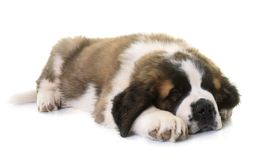 Puppy saint bernard Royalty Free Stock Photography