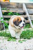 St. Bernard puppy runs. The puppy is a Saint Bernard running around the yard with his tongue hanging out Royalty Free Stock Images