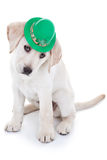 St Patrick Day. Labrador puppy dog isolated Stock Photos