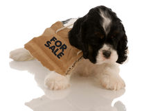 Puppy for sale Royalty Free Stock Photos