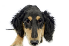 Puppy saluki looking at you in a white background Stock Images