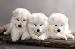 Puppy Samoyed Royalty Free Stock Photos