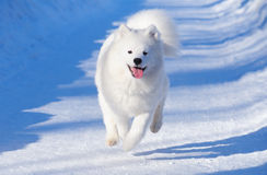 Puppy of Samoyed dog. Gallops Royalty Free Stock Photo