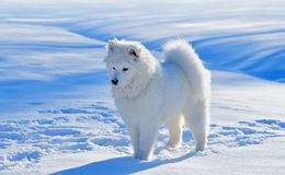 Puppy of Samoyed dog. In snow field Stock Image
