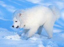 Puppy of Samoyed dog. Play with snow Stock Photo
