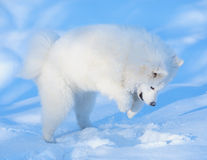 Puppy of Samoyed dog. Hunt on mouse Royalty Free Stock Photos