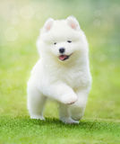 Puppy of Samoyed dog running on green grass. White puppy of Samoyed dog running on green grass Royalty Free Stock Image