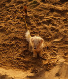 Puppy on the sand. Puppy mimicked in the sand, a cute pet is in the sand while their owners have fun on the beach, the texture of their fur is confused with the Stock Images