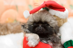 Puppy in a santa hat. Portrait of the beautiful pekingese puppy in a santa hat Stock Images