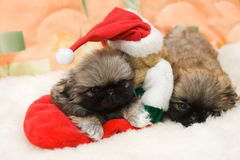 Puppy in a santa hat. Portrait of the beautiful pekingese puppy in a santa hat Royalty Free Stock Photo