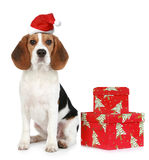 Puppy with Santa hat and Christmas gifts. Beagle puppy with Santa hat and Christmas gifts. Isolated on a white background Royalty Free Stock Photo
