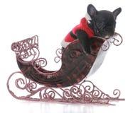 Puppy in santa's sleigh. French bulldog puppy in santa's sleigh on white background Stock Image