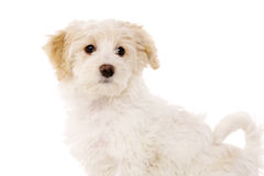 Puppy sat isolated on a white background Stock Image
