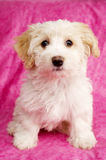 Puppy sat on a pink background Stock Images