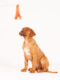 Puppy and sausage royalty free stock photography