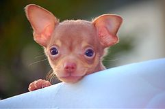 Puppy saying hi. Puppy says hi from bassinet Royalty Free Stock Image