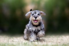 Puppy Schnauzer at Play. Miniature puppy Schnauzer at Play royalty free stock photography