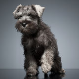 Puppy Schnauzer staying in the studio table. Puppy Schnauzer staying in studio table Stock Photography