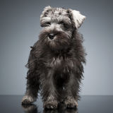 Puppy Schnauzer staying in the studio table. Puppy Schnauzer staying in studio table Stock Photo
