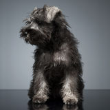 Puppy Schnauzer staying in the studio table. And looking left Royalty Free Stock Images