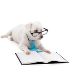 Puppy School. An obedient young dog training or learning, sitting down with a blank book and looking through black rim glasses Royalty Free Stock Photography