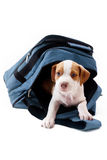 Puppy in a backpack royalty free stock photography