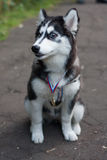 Puppy schor met een medaille Stock Foto