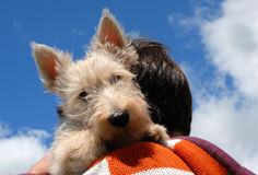 Puppy scottish terrier Royalty Free Stock Image