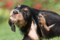 Puppy scratching itself behind the ear. Otterhound puppy scratching itself behind the ear Royalty Free Stock Images