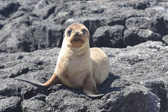 Puppy of sea-lion Royalty Free Stock Photo