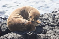 Puppy of sea-lion Royalty Free Stock Photos