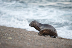 Puppy sea lion on the beach in Patagonia Stock Photos