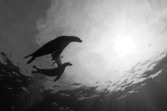 Puppy sea lion underwater in black and white Stock Photography