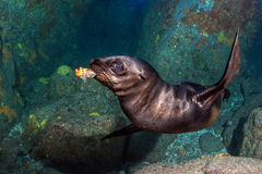 Puppy sea lion underwater holding a coral in mouth Royalty Free Stock Photo