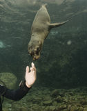 Puppy sea lion underwater looking at you Stock Photos