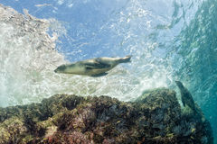 Puppy sea lion underwater looking at you Royalty Free Stock Photo