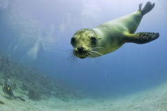 Puppy sea lion underwater looking at you Royalty Free Stock Photography