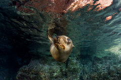 Puppy sea lion underwater looking at you Royalty Free Stock Photos