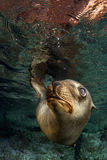 Puppy sea lion underwater looking at you Royalty Free Stock Image