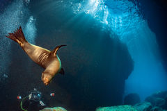 Puppy sea lion underwater looking at you Stock Photography